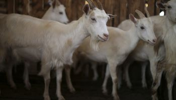 A group of white dairy goats in a wooden enclosure. The goat in the foreground looks at the camera.