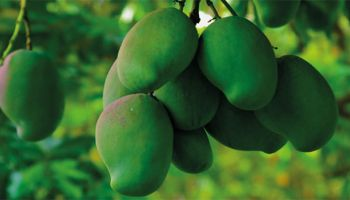 green mangoes hanging from a mango tree