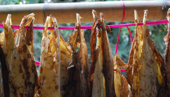 Tobacco leaves being left to dry